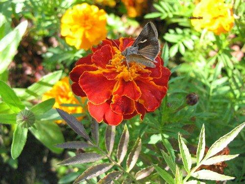 Бархатцы и бабочка