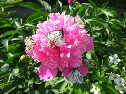 Пион, анемоны, и бабочки.