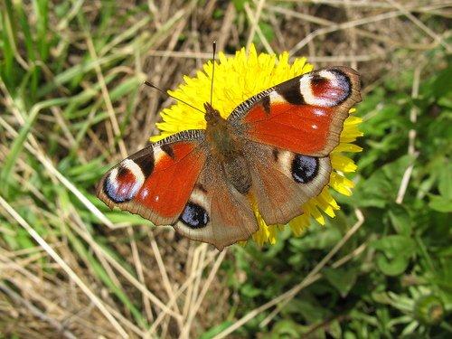 Майская бабочка