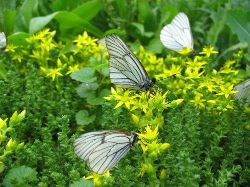Очиток едкий с бабочками