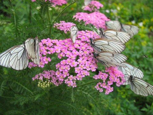 Розовый тысячелистник и бабочки