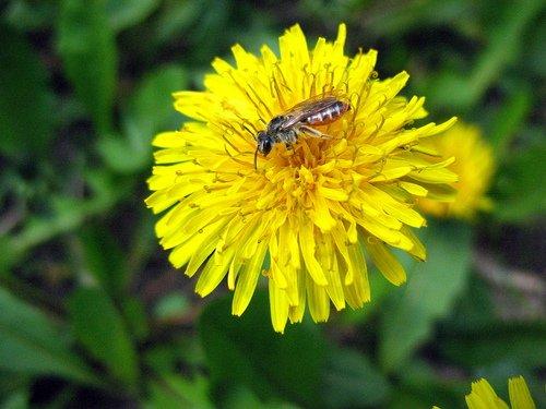 Одуванчик с пчёлкой.