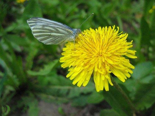 Бабочка белянка и одуванчик.