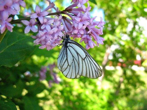 Бабочка и сирень