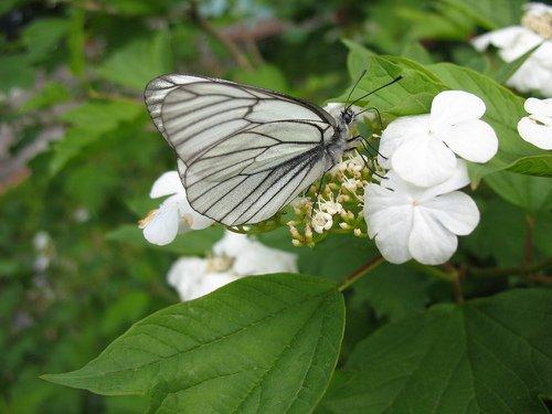 Бабочка на цветах калины