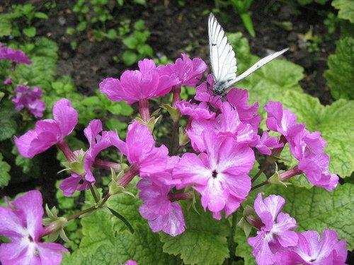 Примула и бабочка