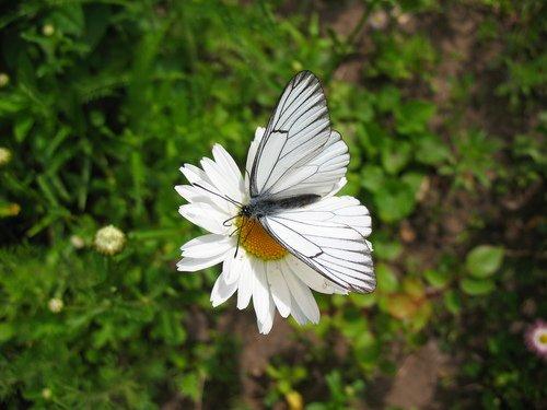 Ромашка с бабочкой