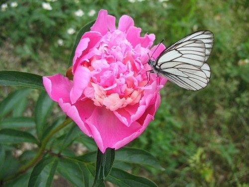 Пион и бабочка