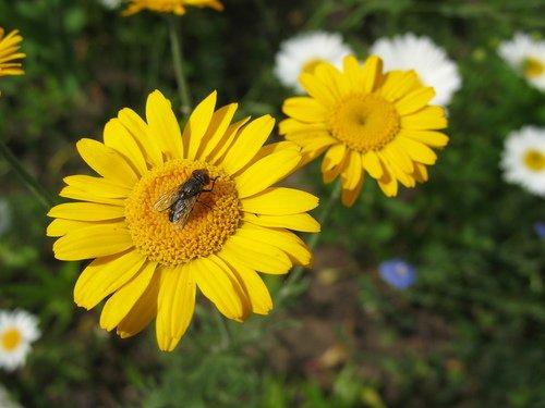 Муха на жёлтом цветке