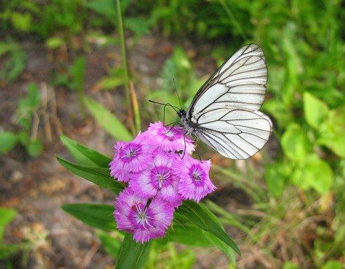 Бабочка и гвоздика