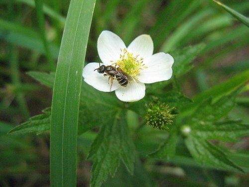 Пчёлка на анемоне
