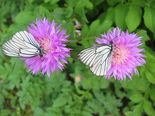 Каждому васильку по бабочке