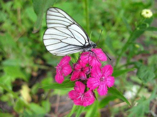 Гвоздика и бабочка