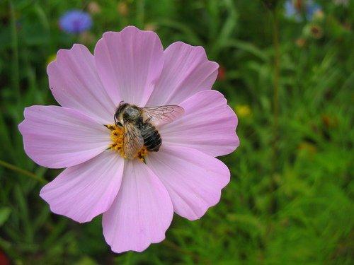 Пчела и космея