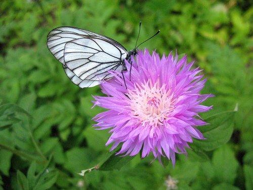 Садовый василёк с бабочкой