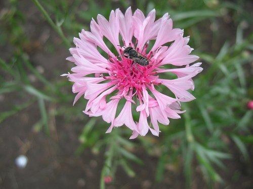 Розовый василёк с маленькой пчёлкой
