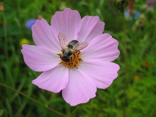 Космея с пчелой