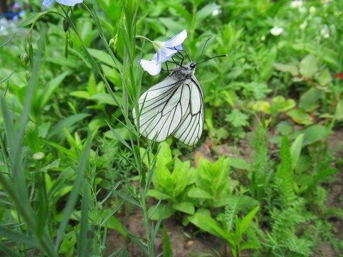 Бабочка боярышница