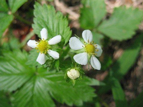 Цветочки лесной земляники