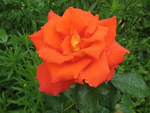 Роза в каплях дождя