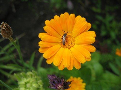 Календула с маленькой пчёлкой
