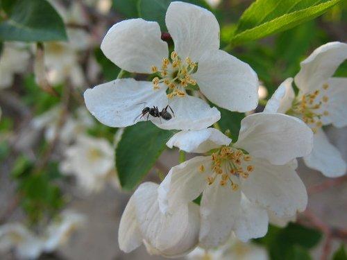 Цветы ранетки с муравьишкой
