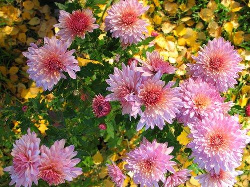 Хризантемы в октябре