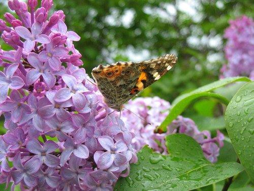 Сирень и бабочка