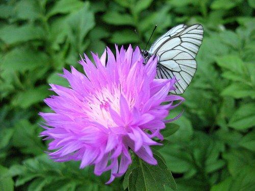 Василёк садовый с бабочкой