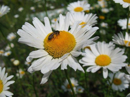 Ромашки и пчёлка