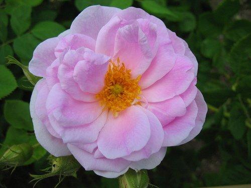 Шиповник - роза.