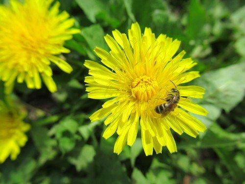 Одуванчик с пчёлкой