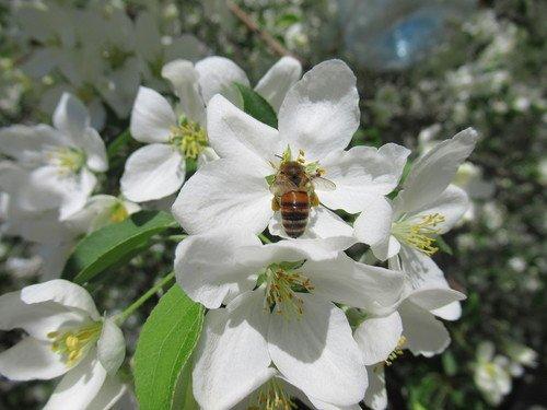 Цветы ранетки с пчелой