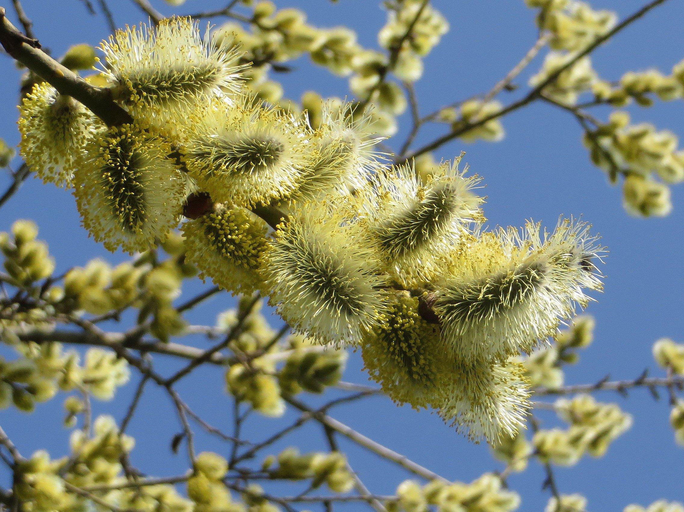тот весна фото природа верба люди люди знающие
