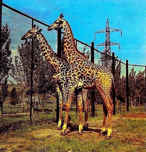 Дело о гибели жирафов в Ростовском зоопарке (следователь Владимир Лившиц).