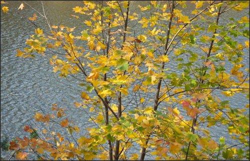 Клены над рекой