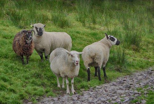 Ирландские овечки