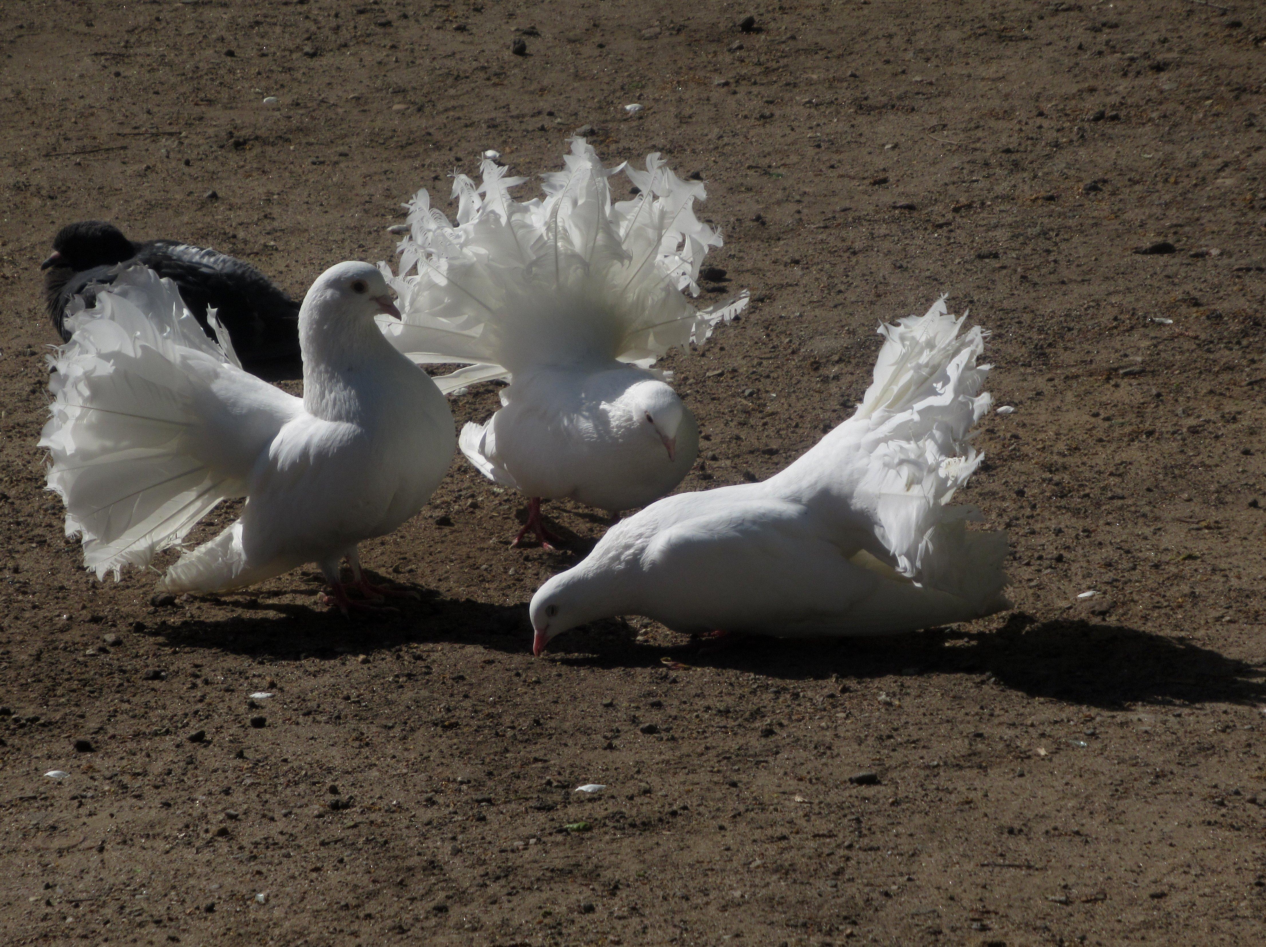 Голуби павлиньи картинки