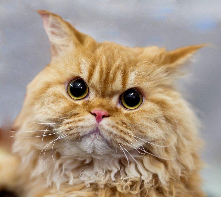 Кудрявые коты.