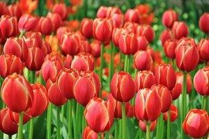 Время тюльпанов