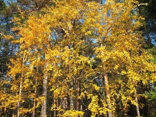 Одна берёзка на фоне соснового леса