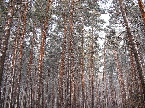 Декабрь в сосновом лесу