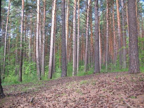 Шишкин лес.
