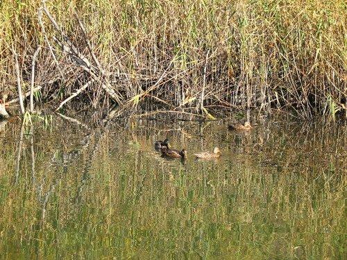 Утки на пруду
