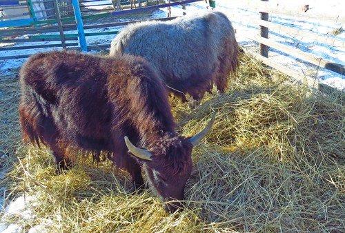 То ли буйвол, то ли бык, то ли тур...