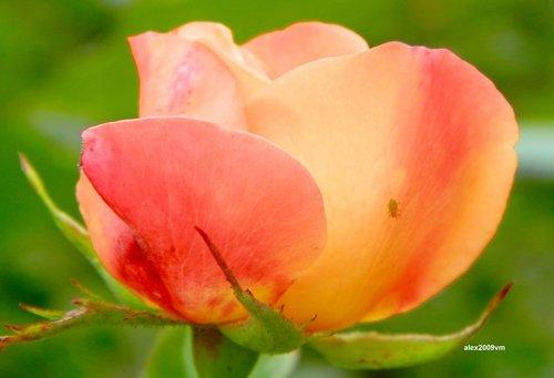Переливы розового