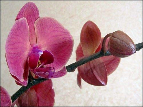 Моя орхидея-2