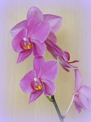 Орхидея, любовь моя!
