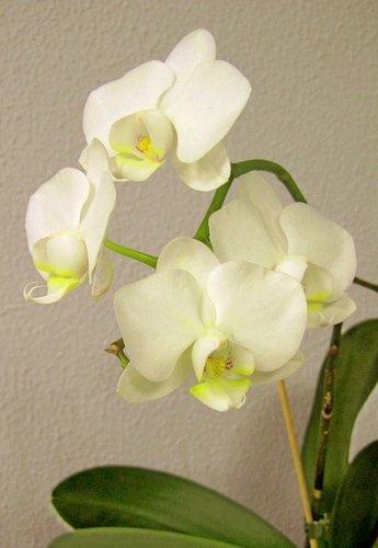 Белая орхидея-2