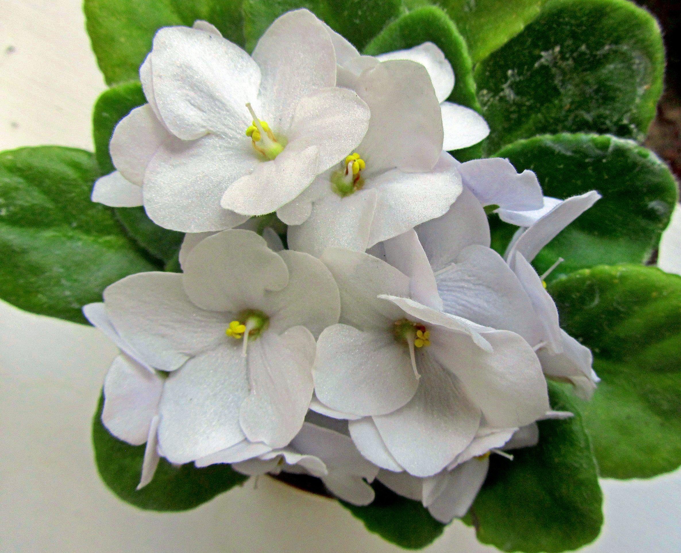 фиалка белая лилия фото размер цветка